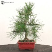 Pinus thunbergii | Japanese Black Pine | herons bonsai