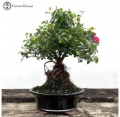 Japanese Rose Bonsai with Exposed Root Neagari