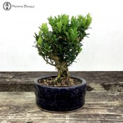 Buxus Harlandii | Ceramic  Pot | Herons Bonsai