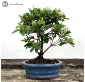 Small Azalea Bonsai Tree