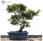 Shaped Azalea Bonsai Tree