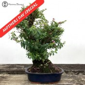 Large Flowering Cuphea or False Heather Bonsai