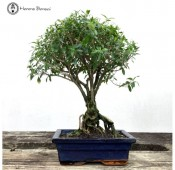Bonsai Trees for Beginners | Herons Bonsai Nursery