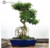 Large Serissa Bonsai | Tree of a thousand stars