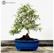 Punica granatum (Pomegranate) | Bonsai Tree | Herons Bonsai