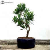 Small Podocarpus Bonsai | Buddhist Pine
