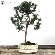Large Podocarpus Bonsai | Buddhist Pine