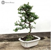 Cotoneaster Bonsai Tree|  herons bonsai