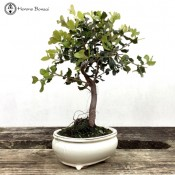 Quercus Evergreen Oak Bonsai