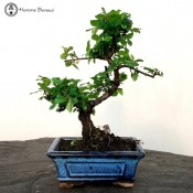 small sageretia bonsai tree | herons bonsai