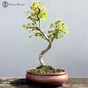 Ginkgo Biloba Bonsai Tree