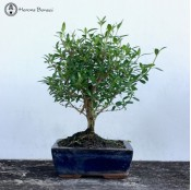 Serissa Bonsai | Broom Style