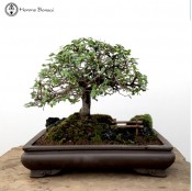 Chinese Elm Landscape | COLLECTION ONLY