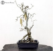 Contorted Hazel Bonsai Tree