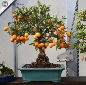 Large Citrus Bonsai | Calamondin