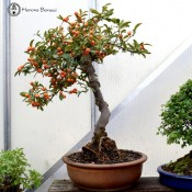 Large Citrus Bonsai | Kinzu