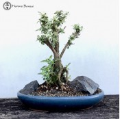 Serissa Bonsai Landscape | Variegated