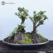 Serissa Bonsai Landscape 2 tree | Variegated