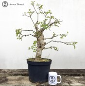 European Ash Bonsai Tree in Flower Pot