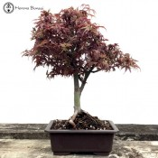 Japanese Maple Shaina | Plastic Pot