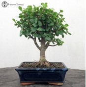 Crassula 'Jade Bonsai Tree' | Herons Bonsai