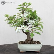 crab apple bonsai tree | herons bonsai