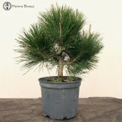 Pinus thunbergii | Japanese Black Pine | £95 | herons bonsai