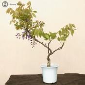 Wisteria Bonsai Tree Care Bonsai Tree