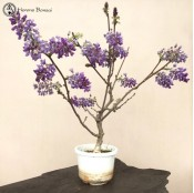 Wisteria Bonsai Tree | Large