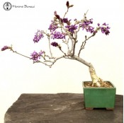 Wisteria Bonsai Tree | Cascade