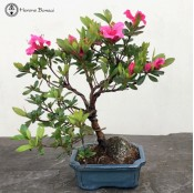 Wired Azalea Bonsai Tree