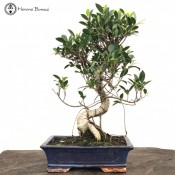 Ficus Bonsai | Large