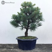 Japanese White Pine Bonsai