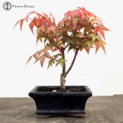 red deshojo maple bonsai tree - starter