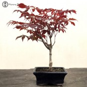 Acer Palmatum 'Atropurpureum' Maple Bonsai Tree | £49