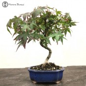 mountain maple bonsai - starter tree