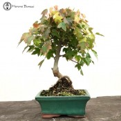 trident maple bonsai tree | herons bonsai