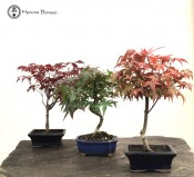 Maple Bundle - 3 Trees