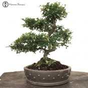 Ulmus parvifolia 'Chinese Elm' | COLLECTION ONLY