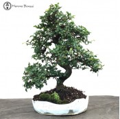 Chinese Elm in a Handmade Pot