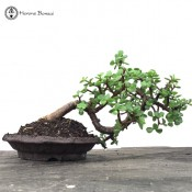 Crassula 'Jade Bonsai' | COLLECTION ONLY