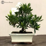 Gardinia Bonsai Tree