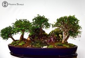 Chinese Elm Forest Landscape | COLLECTION ONLY