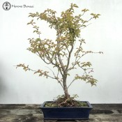 fuji cherry bonsai - large size