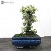 Serissa Bonsai | Variegated