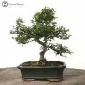 Ulmus parvifolia 'Chinese Elm'  Bonsai Tree