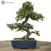 Bonsai Trees | Herons Bonsai Trees Online - Indoor Bonsai