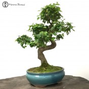 Large Ligustrum 'Chinese Privet' | S-Shape