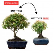 SPECIAL OFFER BUY ONE GET ONE FREE SAGERETIA