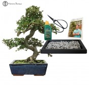 Chinese Elm Beginners Bonsai Gift Set
